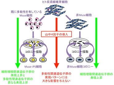 ヒト線維芽細胞由来iPS細胞は、Muse細胞からのみ形成される‐米国科学アカデミー紀要掲載‐  |東北大学 Global COE「Network Medicine 創生拠点」